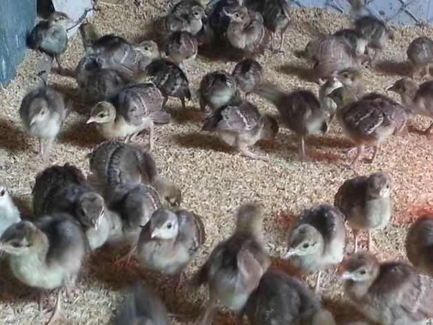 chim công giống 3 tuần thuổi-vuonchimviet.vn