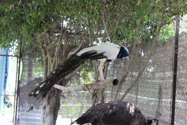 chim công ngũ sắc trưởng thành-vuonchimviet.vn