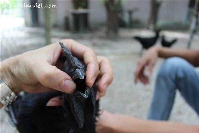 phân biệt gà đen indonesia-gà đen trung quốc-vuonchimviet.vn