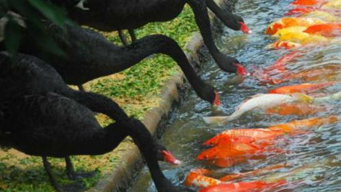 thiên nga đen mớm mồi cho cá chép