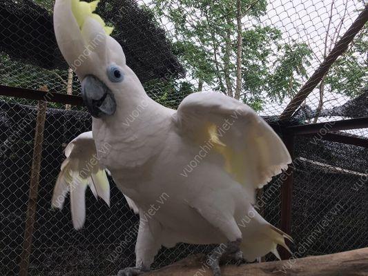 vẹt trắng úc