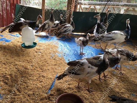 bán chim công ngũ sắc