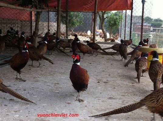 bán chim trĩ đỏ khoang cổ