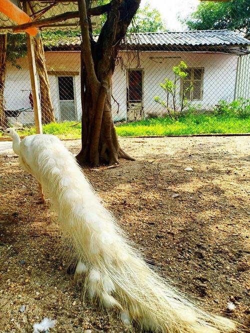 Chim công trắng -1