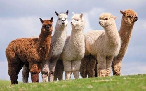 Lạc đà Alpaca