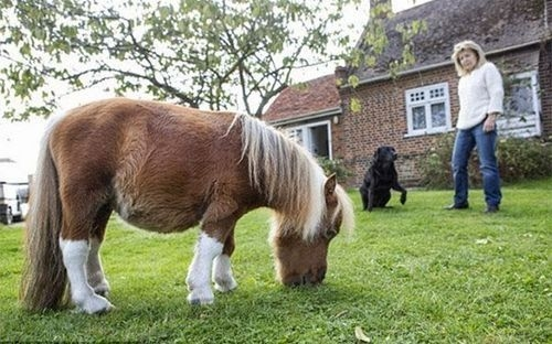 Ngựa lùn Pony