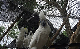 Vẹt Úc Blue Eyed Cockatoo