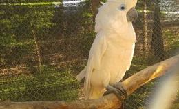 Vẹt Úc Blue Eyed Cockatoo