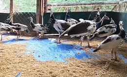 Giống Chim Công Ngũ Sắc 5 Tháng Tuổi