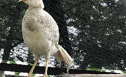 Chim Trĩ 7 Màu Vàng 3 Tháng Tuổi