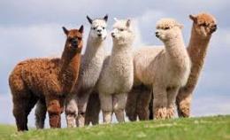 Giống Lạc đà alpaca