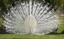 Chim công trắng