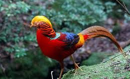 Chim Trĩ đỏ bảy màu