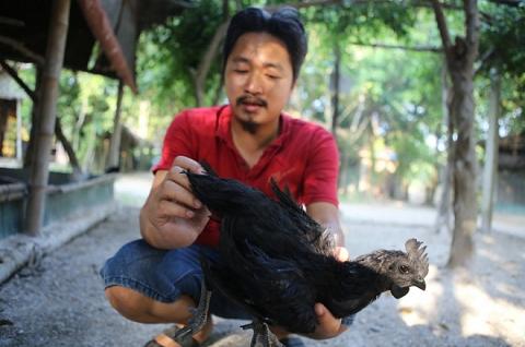Hành Trình Đưa Giống Gà Đen Indonesia Đắt Nhất Thế Giới Về Việt Nam