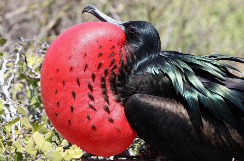 Loài chim có thể bay liên tục 56 ngày không cần nghỉ ngơi