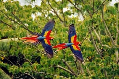 Vẹt Nam Mỹ Scarlet Macaw
