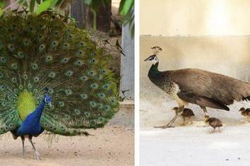 Sự Khác Biệt Giữa Chim Công Trống-Chim Công Mái