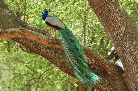 Giống Chim Công Các Loại