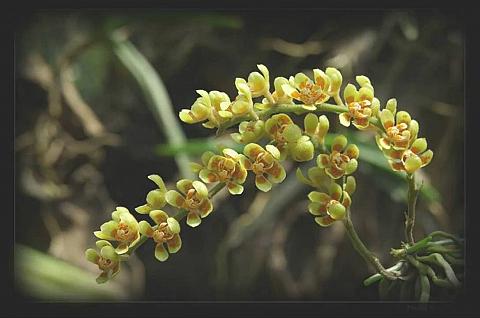 Hoa lan: Loài hoa thanh nhã và cao quý