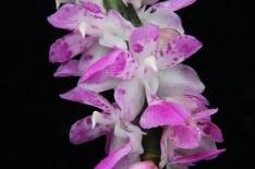 Giáng hương Sóc Lào: Hoa lan đẹp, giá rẻ