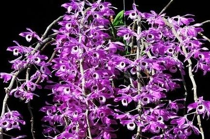 Lan Hoàng Thảo Kèn, loài phong lan đẹp cần được bảo tồn