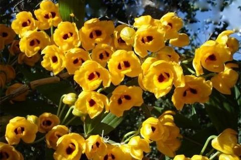 Phi Điệp vàng, loài lan tuyệt đẹp và rực rỡ