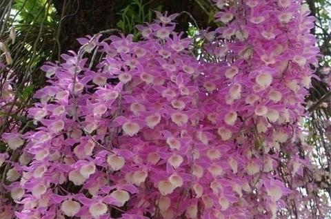 Hoàng thảo Hạc Vỹ hồng, loài lan mang vẻ đẹp đặc trưng và rất tự nhiên