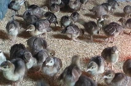 Kinh nghiệm ấp nở trứng chim công
