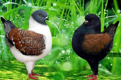 Bồ câu Modena-Modena Pigeon