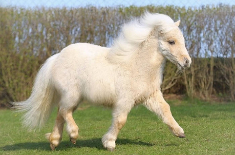 Ngựa lùn Pony -Pony Hourse