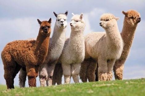 Lạc đà Alpaca: Thú cưng cho giá trị kinh tế cao