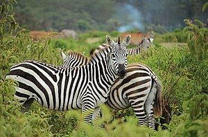 Những điều thú vị về bộ lông sọc đen trắng của ngựa vằn