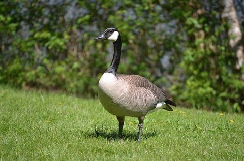 Ngỗng cổ đen: Cơn sốt mới trong giới chơi chim gà cảnh