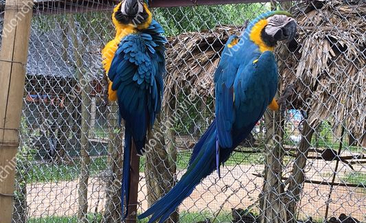 Vẹt Nam Mỹ Blue and Gold Macaws