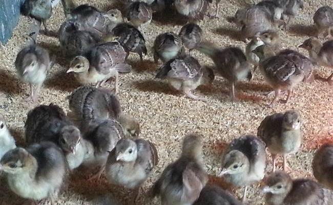 Giống Chim Công Xanh 3 Tuần Tuổi