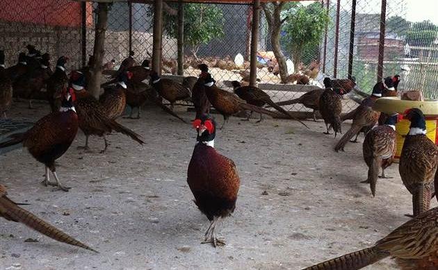 Chim Trĩ Đỏ Khoang Cổ