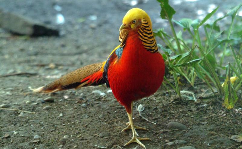 Chim Trĩ 7 Màu Đỏ