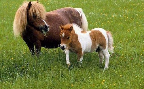 Giống Ngựa Lùn Pony