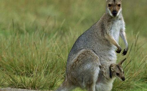 Chuột túi xám Wallaby