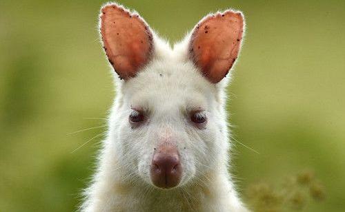 Chuột túi trắng Wallaby