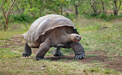 Rùa Khổng Lồ Sulcata