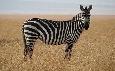 Giống Ngựa Vằn