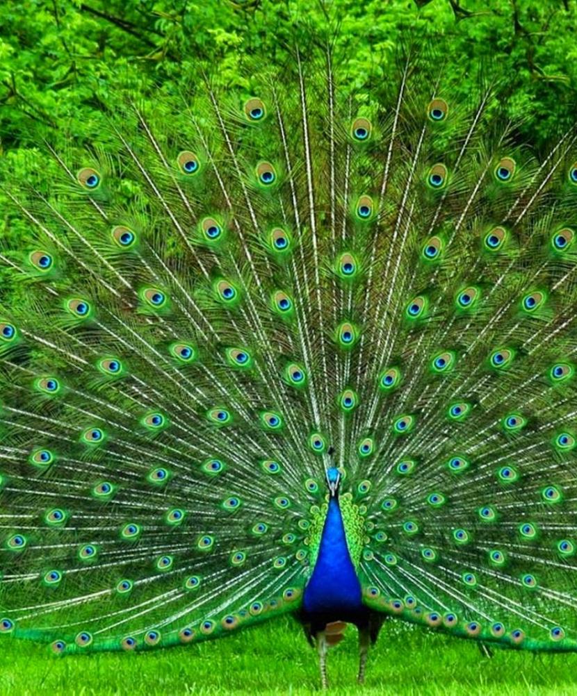 Chim Công Chim Trĩ